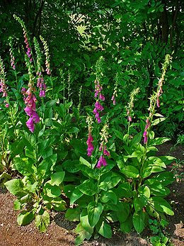 Digitalis purpurea 001.JPG