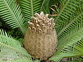 Dioon edule04.jpg