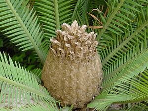 Dioon edule - The cone