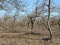 Diospyros kaki Persimmon plantation in winter01.jpg
