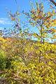 Diospyros lotus - Quarryhill Botanical Garden - DSC03644.JPG