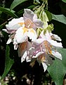 Dipelta floribunda - Arnold Arboretum - DSC06809.JPG