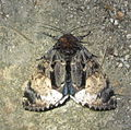 Disepholcia caerulea (7232757378).jpg