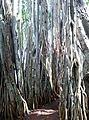 Dodda Aladha Mara 2.jpg