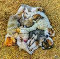 Dogs puppy svln4821.jpg