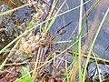 Dolomedes fimbriatus, Magny-Vernois.jpg