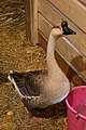Domestic Swan Goose (Anser cygnoides var. domesticus) - FrogHollow Farm Sanctuary 2019-10-26 (02).jpg