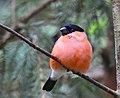 Domherre Eurasian Bullfinch (20164075599).jpg