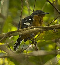 Dot-winged Antwren - Panama H8O2830 (16637006199).jpg