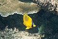 Dotted butterflyfish Chaetodon semeion (7594111104).jpg