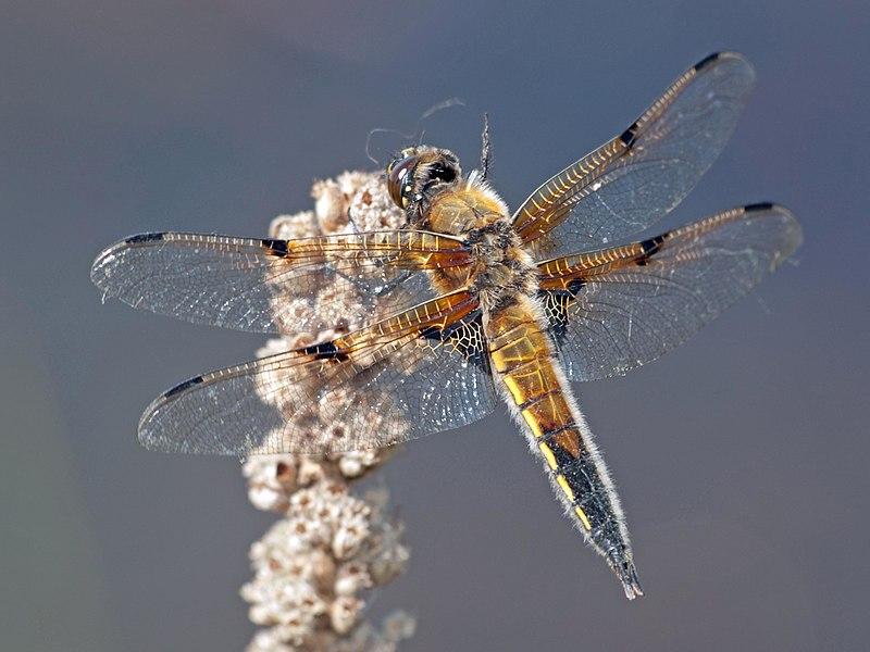File:Dragonfly (6).jpg