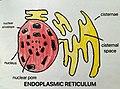 Drawing of Endoplasmic Reticulum.jpg