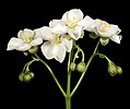 Drosera stolonifera - Flickr - Kevin Thiele.jpg