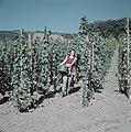 Druivenplukster wijnkoniging Mosella met een emmer druiven, Bestanddeelnr 254-6090.jpg
