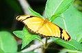 Dryas iulia (Nymphalidae).jpg