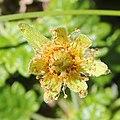 Dryas octopetala var. asiatica (flower s5).jpg