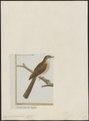 Drymoica fuscata - 1700-1880 - Print - Iconographia Zoologica - Special Collections University of Amsterdam - UBA01 IZ16200031.tif