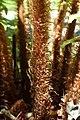 Dryopteris affinis kz1.jpg