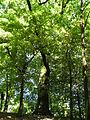 Dub letní, Vysoké Mýto, Vinice 2.JPG