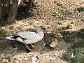 DuckWithchick004.jpg