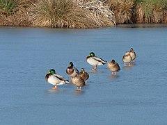 Ducks walk on water - Cob House Fisheries (geograph 2799672).jpg