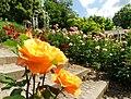 Duftende Schönheit, der Rosengarten im Kurpark Bad Mergentheim. 13.jpg