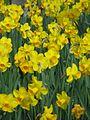 Dunedin Botanic Gardens daffodils.jpg