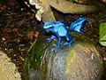 Dyeing Dart Frogs (Dendrobates tinctorius) 'azureus' morph - Zoo du Lunaret, Montpellier, France - (1).jpg