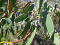 E. coccifera flower buds.JPG