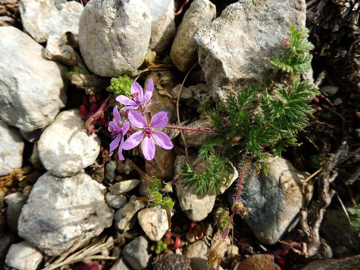 Erodium cicutarium - Wikimedia Commons