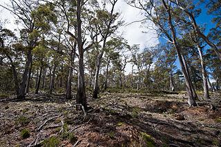 <i>Eucalyptus pulchella</i> species of plant