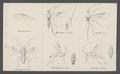 Earinus - Print - Iconographia Zoologica - Special Collections University of Amsterdam - UBAINV0274 046 07 0009.tif
