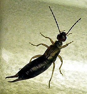 Earwig on tin.jpg