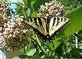 Easterntigerswallowtail.jpg