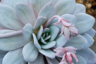 Echeveria - Echeveria laui - a species with round, glaucous leaves