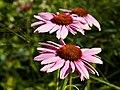 Echinacea purpurea-IMG 8539.jpg