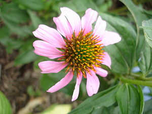 Echinacea tennesseensis - Flowering plant in cultivation.