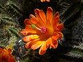 Echinocereus scheeri Blüte.JPG