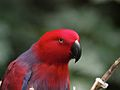 Eclectus roratus -North Carolina Zoo (female) upper body-8a.jpg