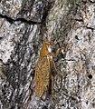 Ectobius pallidus MHNT profil.jpg