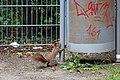 Eichhörnchen (Sciurus vulgaris) Konstantinhügel Wiener Prater 2020-07-12 b.jpg