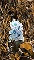 Eichhornia crassipes, Pokhara.jpg