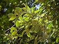 Elaeagnus conferta Roxb. (17288527361).jpg