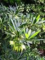 Elaeocarpus hainanensis 02.JPG