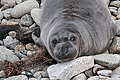 Elephant Seal (immature) Fish Docks Pt Reyes Marin CA 2019-03-04 13-14-11 (48032429142).jpg