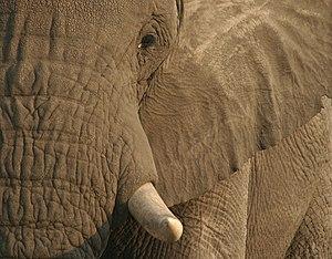Elephant, Okovnago Delta, Botswana, Africa.