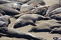 Elephant seals, Piedras Blancas 12.jpg