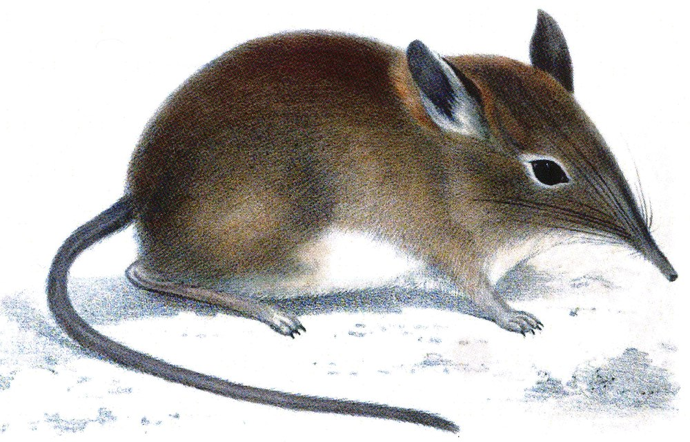 The average litter size of a Western rock elephant shrew is 1