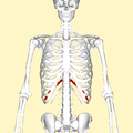 Eleventh rib frontal2.png