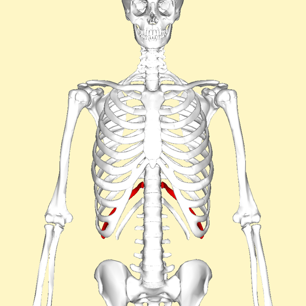 File:Eleventh rib frontal2.png
